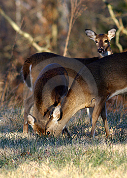 Deer Feeding Together Royalty Free Stock Photo - Image: 8502045