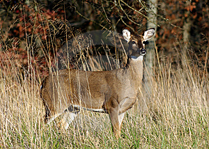 Proud Doe Royalty Free Stock Photography - Image: 8502227