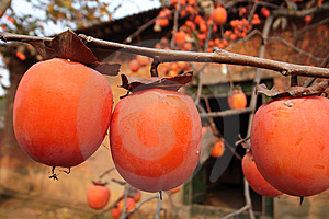 Persimmon Royalty Free Stock Image - Image: 8502236