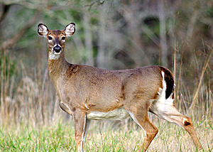 Doe Caught In Mid Stride Royalty Free Stock Image - Image: 8502266