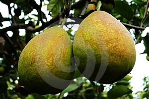 Pears Stock Photo - Image: 8502350