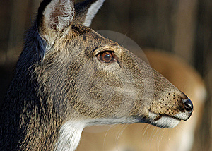 Doe Profile Royalty Free Stock Image - Image: 8502376