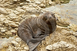 Seal Royalty Free Stock Photos - Image: 8502528