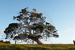 Oak Tree Royalty Free Stock Photography - Image: 8503767