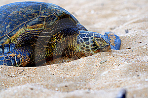 Green Sea Turtle 1 Stock Photo - Image: 8503770