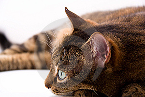 Brown Cat Royalty Free Stock Photography - Image: 8503847