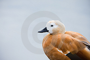 Parti-coloured Duck On Rest Near The Water Stock Photography - Image: 8504772