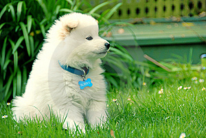 Bubble - Samoyed Stock Photography - Image: 8505602