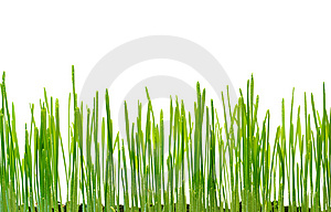 Wheat Sprouts Royalty Free Stock Photos - Image: 8506968