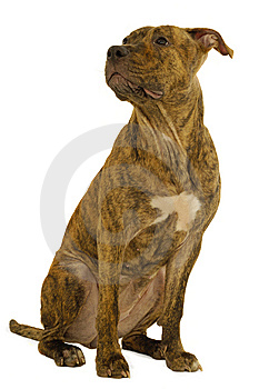 Staffordshire Terrier Dog Royalty Free Stock Photography - Image: 8507607
