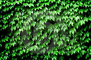 Detail Of Ivy Stock Photo - Image: 8507780