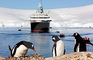 Gentoo Penguin Royalty Free Stock Image - Image: 8508456