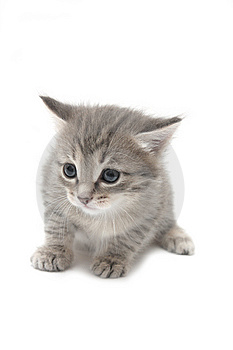 Small Gray Kitten Royalty Free Stock Images - Image: 8508559