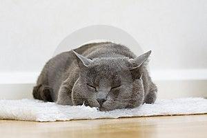 Sleepy Gray Cat Stock Photography - Image: 8508872
