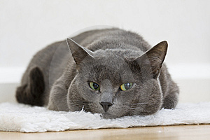 Gray Cat Stock Images - Image: 8508874