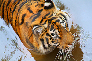 Tiger In The Water Stock Image - Image: 8510751