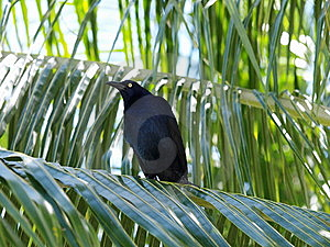 Mexican Blackbird Stock Photos - Image: 8511563