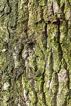 Bark Of Oak Stock Photos - Image: 8511593