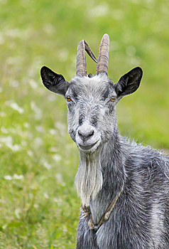 Goat Stock Photography - Image: 8512892