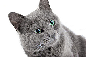 Grey Cat Stock Image - Image: 8513291