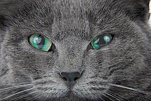 Grey Cat Royalty Free Stock Photography - Image: 8513307