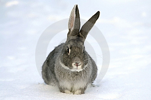 Gray Rabbit Royalty Free Stock Photo - Image: 8513495