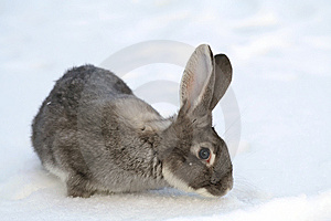 Gray Rabbit Stock Images - Image: 8513504