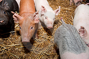 Pig Royalty Free Stock Image - Image: 8514796