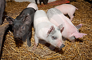 Pig Stock Photos - Image: 8514803