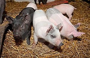Pig Stock Photos - Image: 8514803