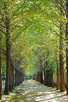 Gingko Road Stock Photography - Image: 8515102