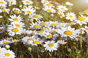 Camomile Field Under The Sunlight Royalty Free Stock Images - Image: 8515669
