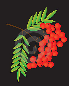 Rowan Berries On A Black Background Stock Photo - Image: 8516850