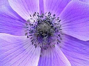 Anemone Flower Royalty Free Stock Image - Image: 8518416