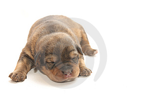 Small Blind Puppy Royalty Free Stock Image - Image: 8519036