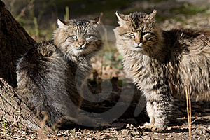 Tomcats Royalty Free Stock Photos - Image: 8519968