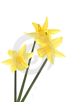 Delicate Daffodils. Royalty Free Stock Photos - Image: 8521448