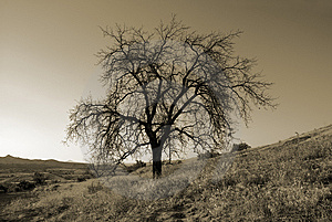 Lonely Tree Royalty Free Stock Images - Image: 8521459