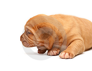 Puppy On A White Background. Stock Image - Image: 8521591