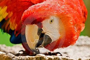 Scarlet Macaw Bird Stock Photography - Image: 8522282
