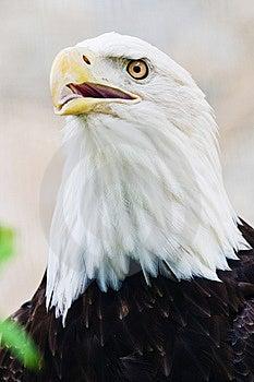 Bald Eagle Royalty Free Stock Image - Image: 8522876