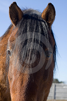 Portrait Of Brown Horse Royalty Free Stock Images - Image: 8525019