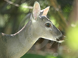 O Deer Natures Beauty. Stock Photography - Image: 8526462