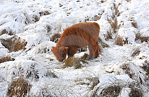 Young Highland Calve Grazing Royalty Free Stock Photography - Image: 8527317