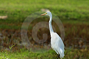Great White Egret Royalty Free Stock Photos - Image: 8528948