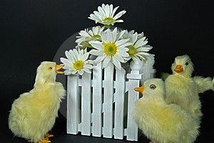 Daisy Ducks Royalty Free Stock Photography - Image: 8530177