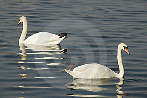 Swans In The Lake Stock Image - Image: 8530181