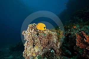 Masked Butterflyfish Stock Images - Image: 8532364