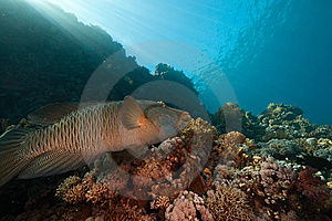 Coral, Ocean And Napoleon Wrasse Stock Photo - Image: 8532600