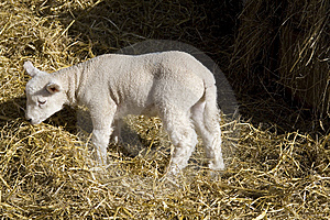 Spring Lamb Stock Images - Image: 8533754